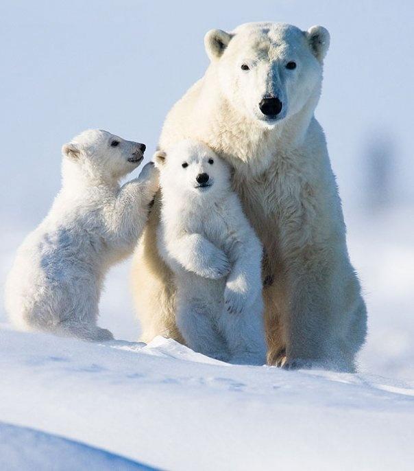101 best Polar Bears images on Pinterest