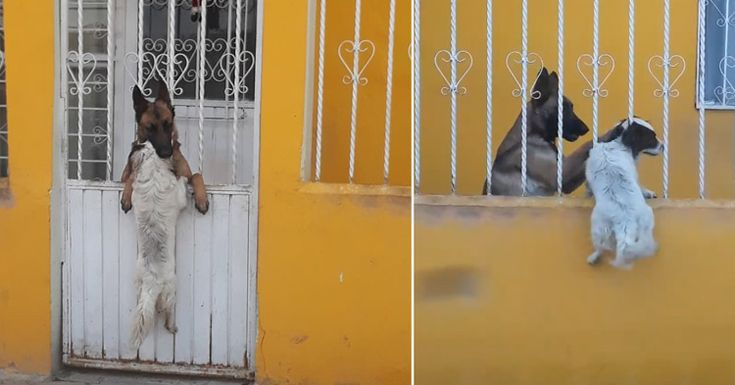 El enternecedor vídeo de un perro que lucha por cruzar los barrotes para estar con su amigo #perro #pastoraleman #perros #animales #animal #mascota #mascotas #mexico #sanluisdepotosi #video #videos #viral #noticia noticias #enternecedor #amor #amigos #amigo