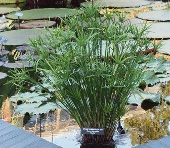 25 best ideas about cyperus papyrus on pinterest fleurs en pots plantes en pots et plantes. Black Bedroom Furniture Sets. Home Design Ideas