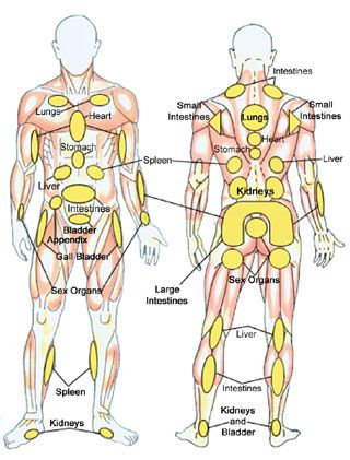 Massage Healing Chart  -- The highlighted areas of the chart can be used to stimulate the muscle to eliminate pain and restore blood flow to the organ it is associated with.