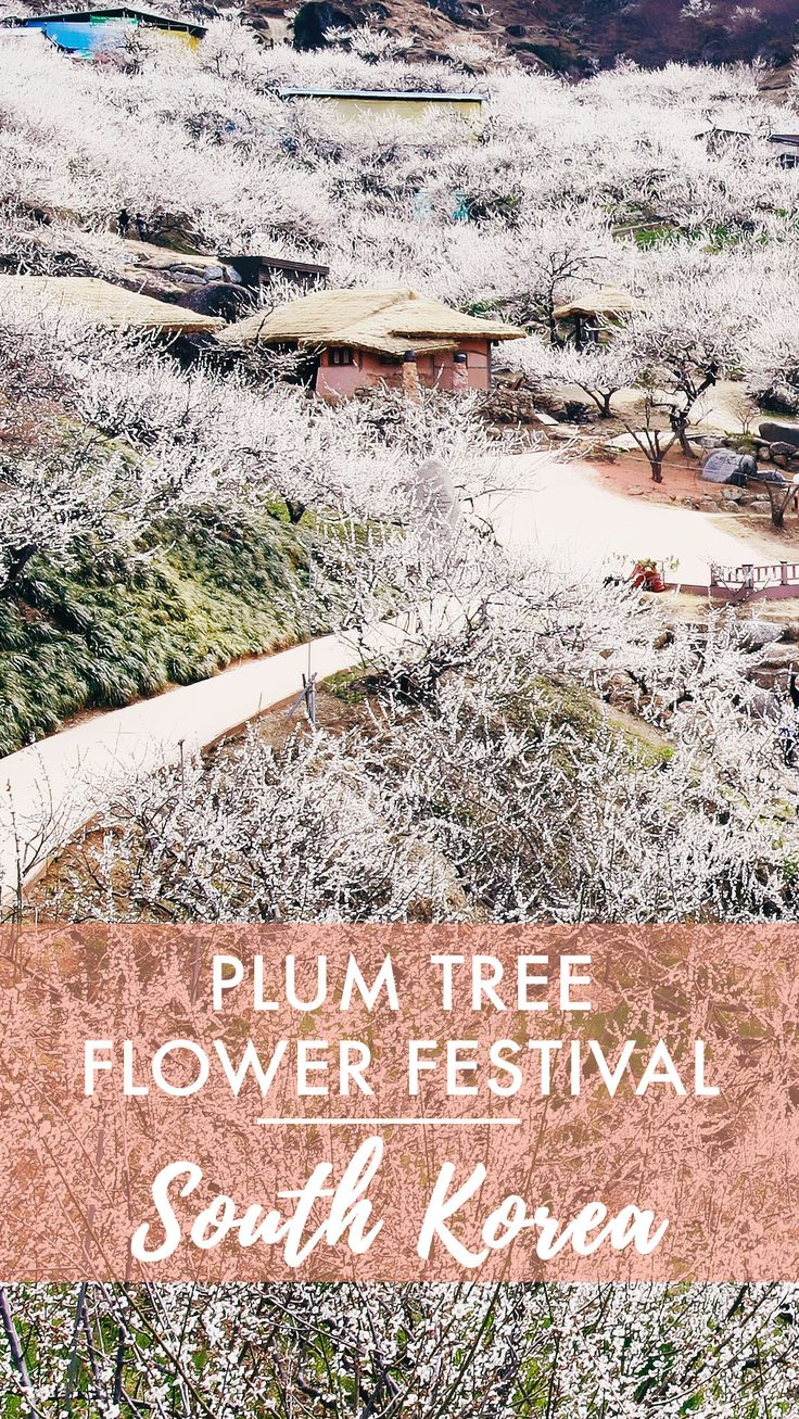 THIS WEEKEND! // Maehwa Plum Flower Festival // Gwangyang, South Korea