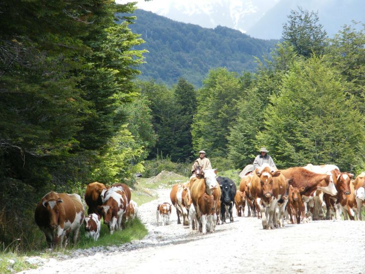 Local cowboys (Huasos) driving cattle in Futaleufu | from Agenda del Pescador http://agendadelpescador.blogspot.com/2011/04/futaleufu-puerta-de-entrada-la.html