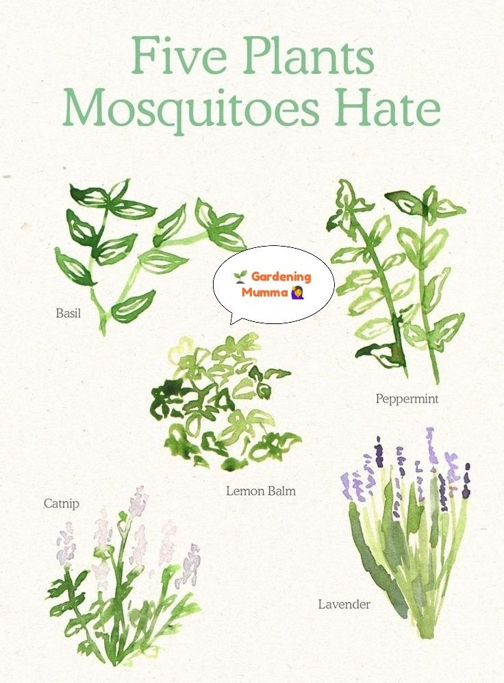 Plants For Mosquitoes Haters Yes You Heard Right