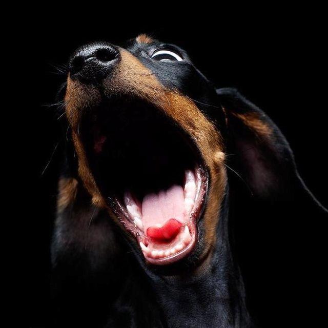 yawn or bark?: Opera Singers, Weenie Dogs, Doxi, Dachshund Facebook, Dachshund Christmas, Big Yawn, Animal Friends, Weiner Dogs, Dogs Life