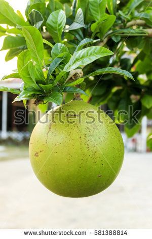 fruit of the Calabash tree in the garden with soft-focus in the background and over light