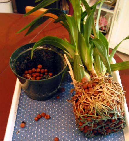 Hydroculture et orchidees - 1