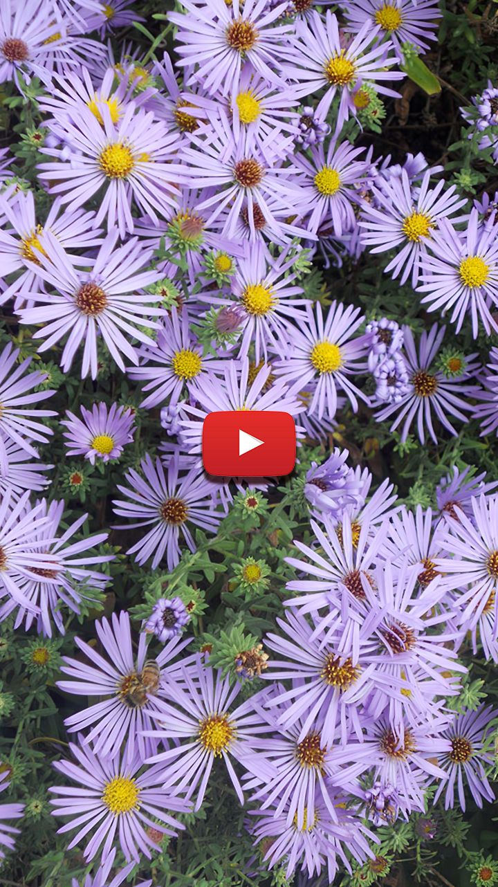 Purple Aster Flower Purple Aster Perennials Woods Purple Aster Purple Aster Wallpaper In 2020 Aster Flower Flowers Flowers Photography