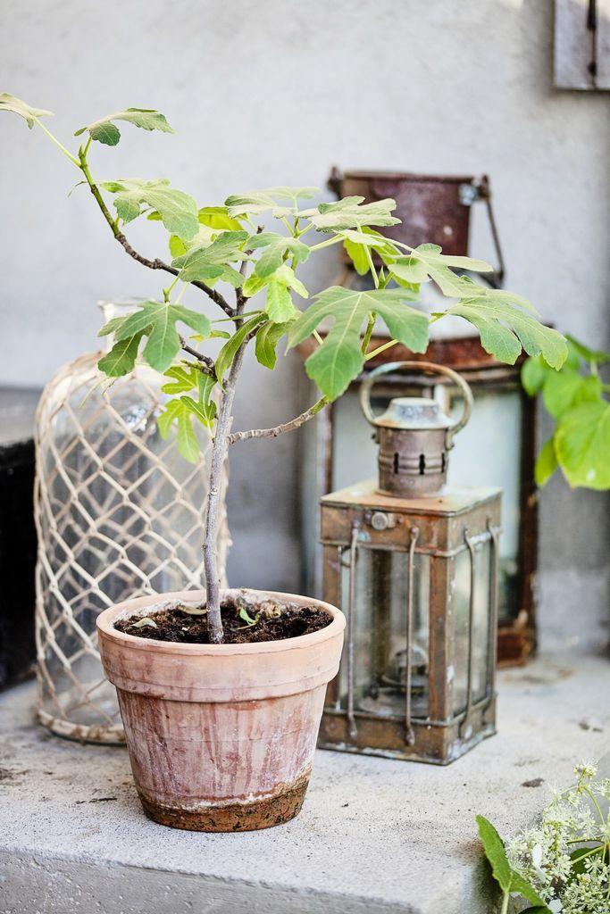 Kobberlyktene står ute året rundt og har fått et fint, værbitt utseende. Det lille fikentreet settes ut om sommeren og står godt under taket. Terrakotta-potten passer dessuten fint til den romantiske stilen. Glassflasken med bast er fra Home & Cottage.