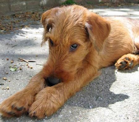 Google Image Result for http://4.bp.blogspot.com/-_Sh03d1K-WU/UHV85mV2roI/AAAAAAAAAk4/7edbuXa8Cr8/s1600/Irish-Terrier-Puppies.jpg