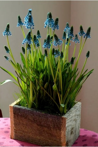 Spring Container Garden with Grape Hyacinths -- Perfect for May Day!
