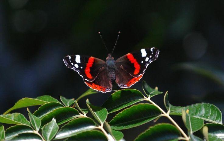 Ο μικρόκοσμος των Τρικάλων. Μια πεταλούδα κάθεται στα φύλλα ενός δέντρου μια ηλιολούστη φθινοπωρινή μέρα στην πόλη των Τρικάλων.