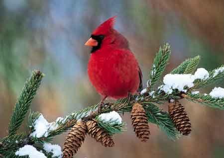Northern Red Cardinal