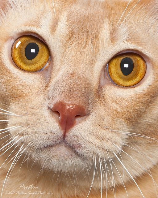 Pictures of European Burmese Cat Breed