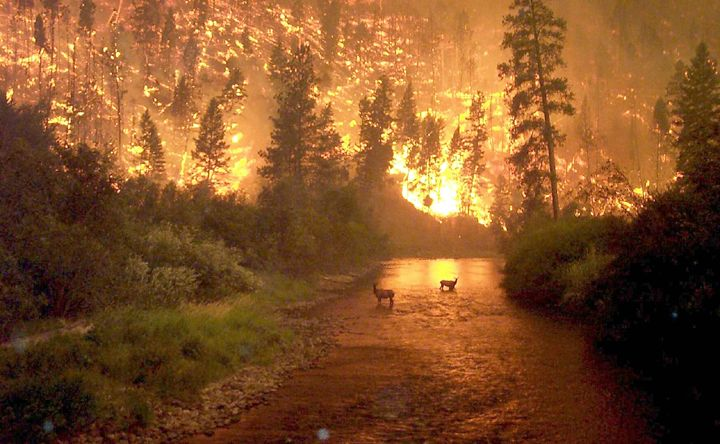 Two elk stand in a stream as a forest fire rages behind them, Bitterroot National Forest, Montana, on Aug. 6, 2000. Photo by John McColgan, a fire behavior analyst working for the Alaska Forest...