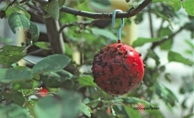 "Red ball coated wtih glue and hung in apple tree to keep bug off apples....& other insect control ideas. Boil 1 qt. corn syrup & 1 qt. water to create a non drying sweet glue to spread with a paintbrush over colored construction paper as ""Glue Traps"" for insects  Pink, blue or yellow flourescent works well."