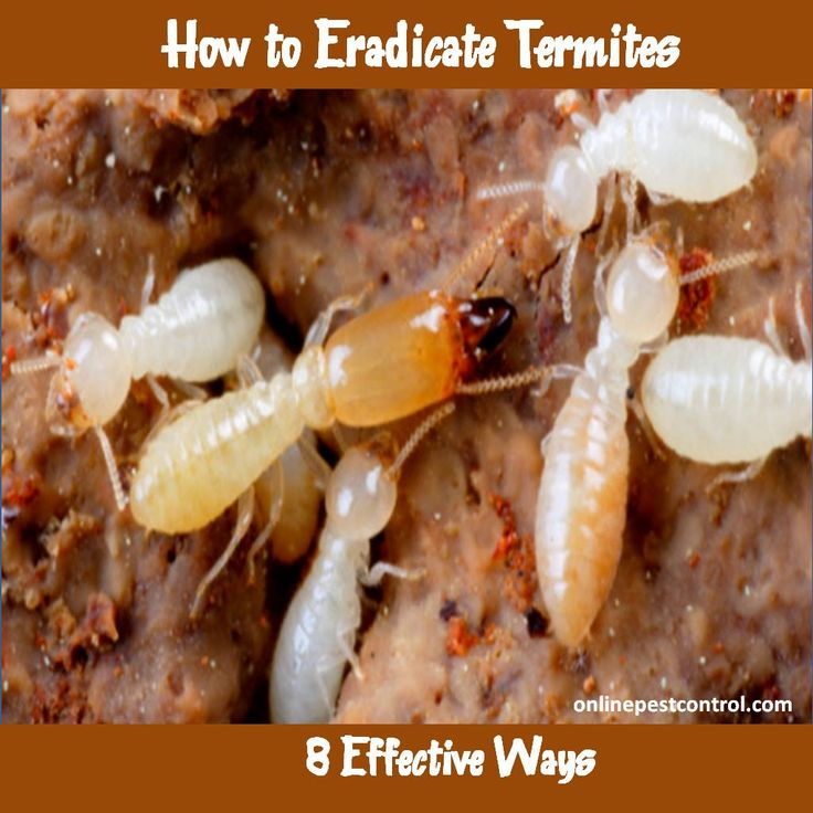 Termites are devious creatures that will gnaw away at the wood structure of your home. How can you get rid of termites and preserve your home?