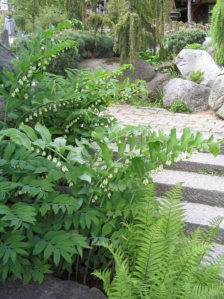 Jätterams - Perenner - Trädgårdsväxter