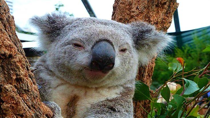 Funniest Koala Bear Videos EVER