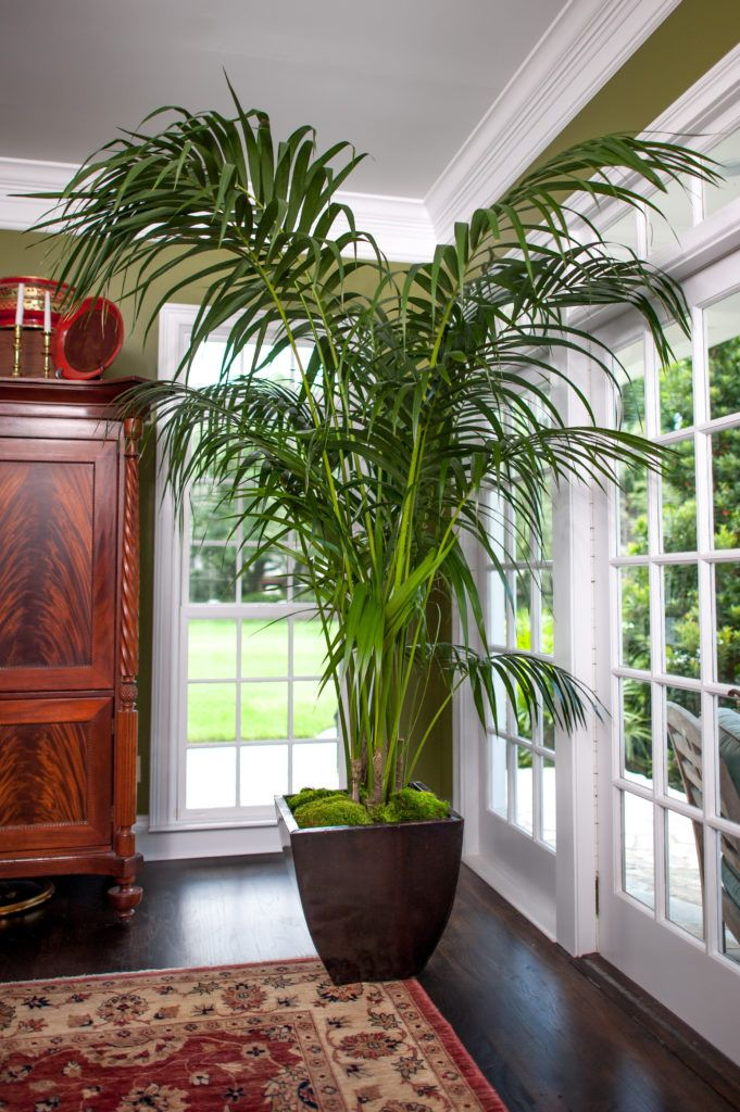 Kentia Palm Large High Quality Tropical Plants Shipped To Your