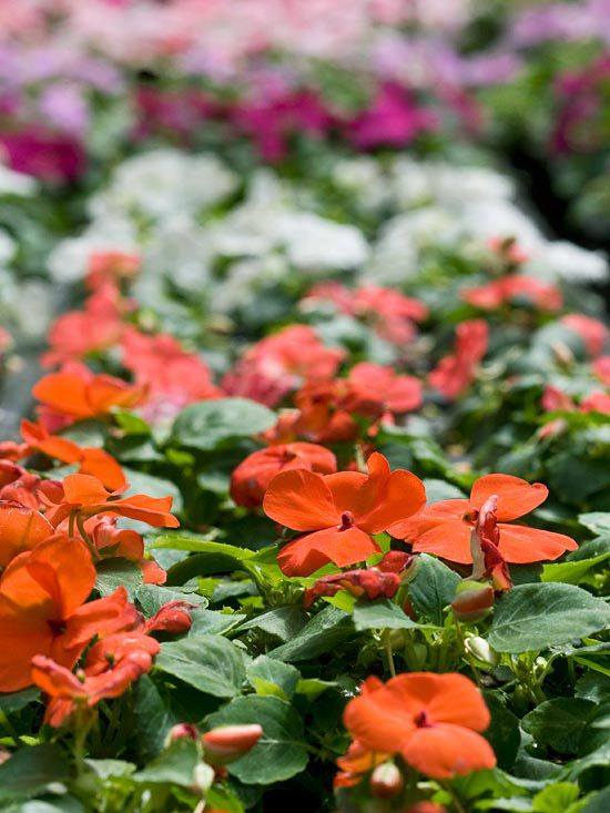 gorgeous annuals to grow in the shade - Plants That Do Well In Shade