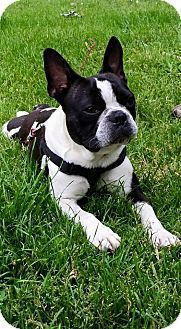 Columbus, OH French Bulldog/Boston Terrier Mix. Meet