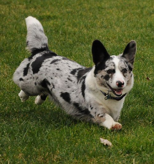 lovely cardigan welsh corgi