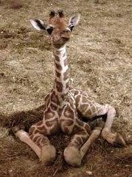 Afbeeldingsresultaat voor baby giraffes sleeping