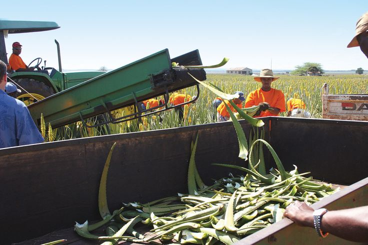 FLP is the world's biggest grower, manufacturer and distributor of Aloe Vera containing products.