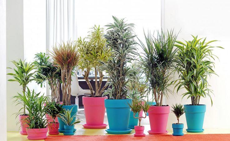 Drachenbaum: Pflege und Vermehrung - Der Drachenbaum ist eine sehr pflegeleichte Zimmerpflanze: Er kommt mit wenig Licht aus und verzeiht es auch, wenn Sie mal das Gießen vergessen. Dennoch sollten Sie einige Pflegehinweise beachten, damit die Pflanze sich gut entwickelt.