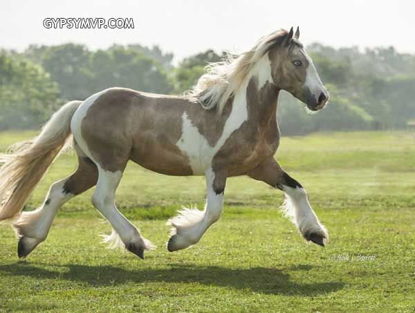 17 Best Images About Horses Tobiano On Pinterest