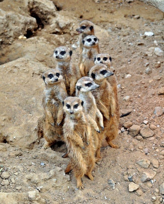 Meerkats live in all parts of the Kalahari Desert in ...  Meerkats live i...