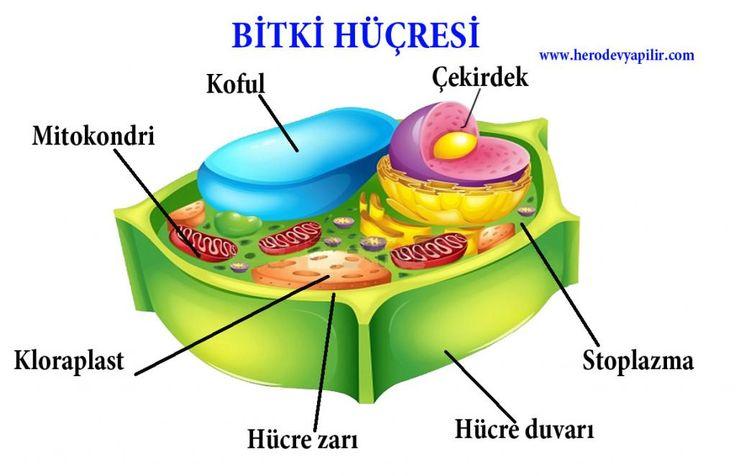 Bitki Hücresi Nedir? resimleri