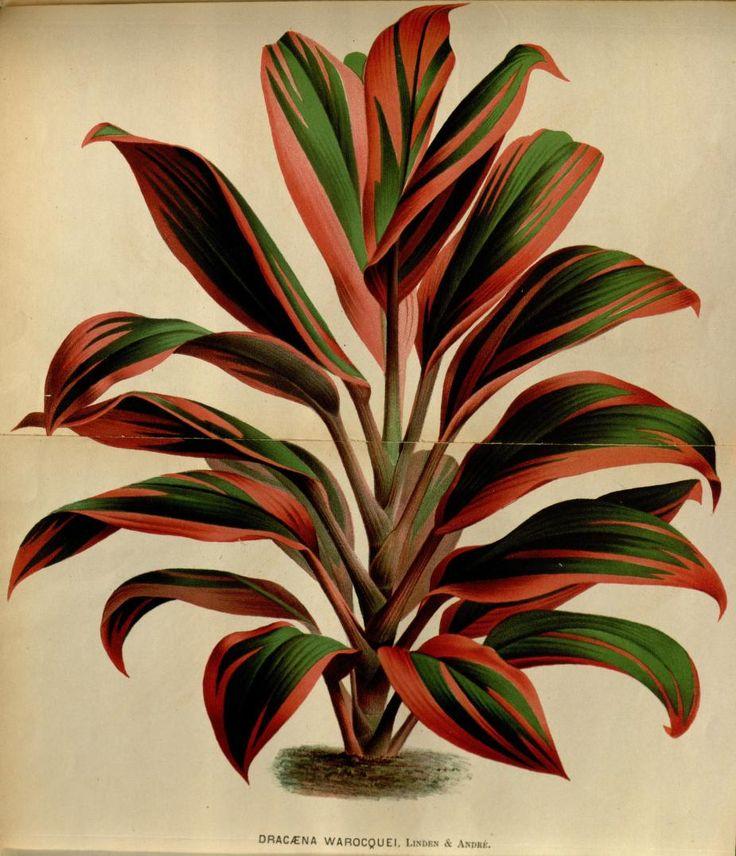 v.22 (1875) - L'Illustration horticole : - Biodiversity Heritage Library 925 x 1080