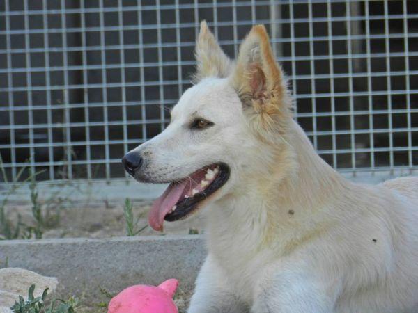 ADELMO, lupo bianco di circa 2 anni - http://hormiga.it/adelmo-lupo-bianco-di-circa-2-anni/ Adoption, Adozioni Cani, Adozioni urgentissime, Canili Gattili Rifugi