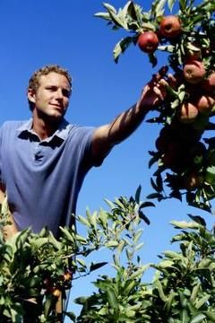 Aphids can transfer fire blight from a limb to a bloom and destroy your apple crop. Fire blight vinegar spray.