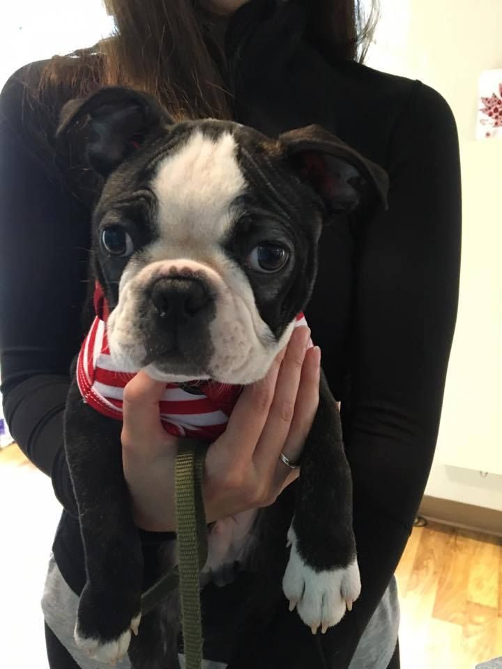 Does Anyone Else Experienced Allergies With Their Boston Terrier