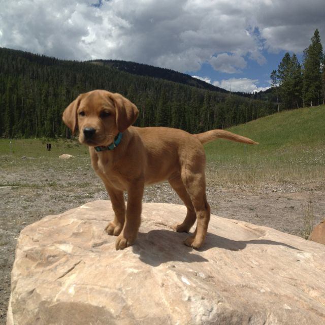 Fox Red Lab in the Montana mountains