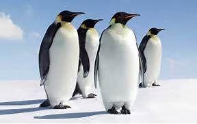 Pingüino Emperador - Información y Características - Biología