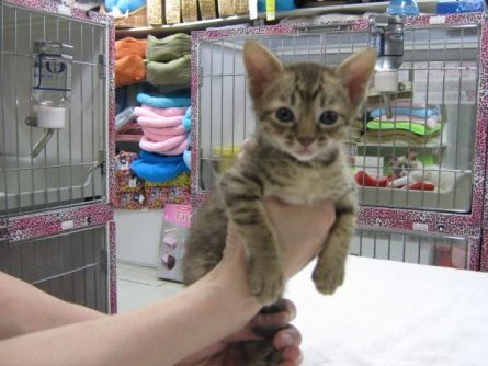 Tips for finding good breeders and foster parents of the Munchkin kittens