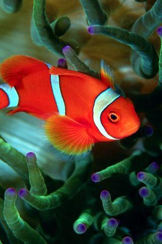 Spinecheek anemone fish