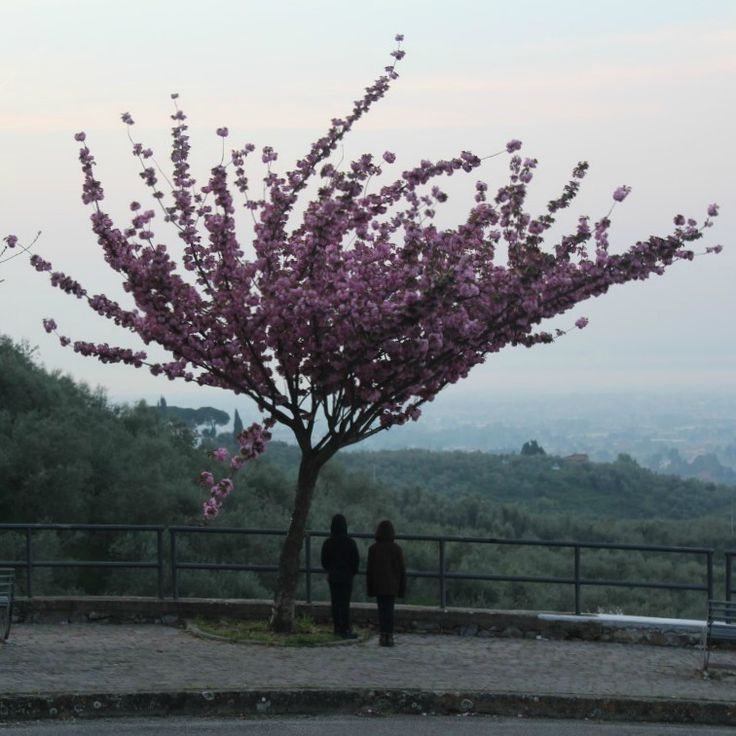 Just love this tree.  It is so beautiful.  Sums up Spring in Tuscany.  #startthedaywithsomethingbeautiful
