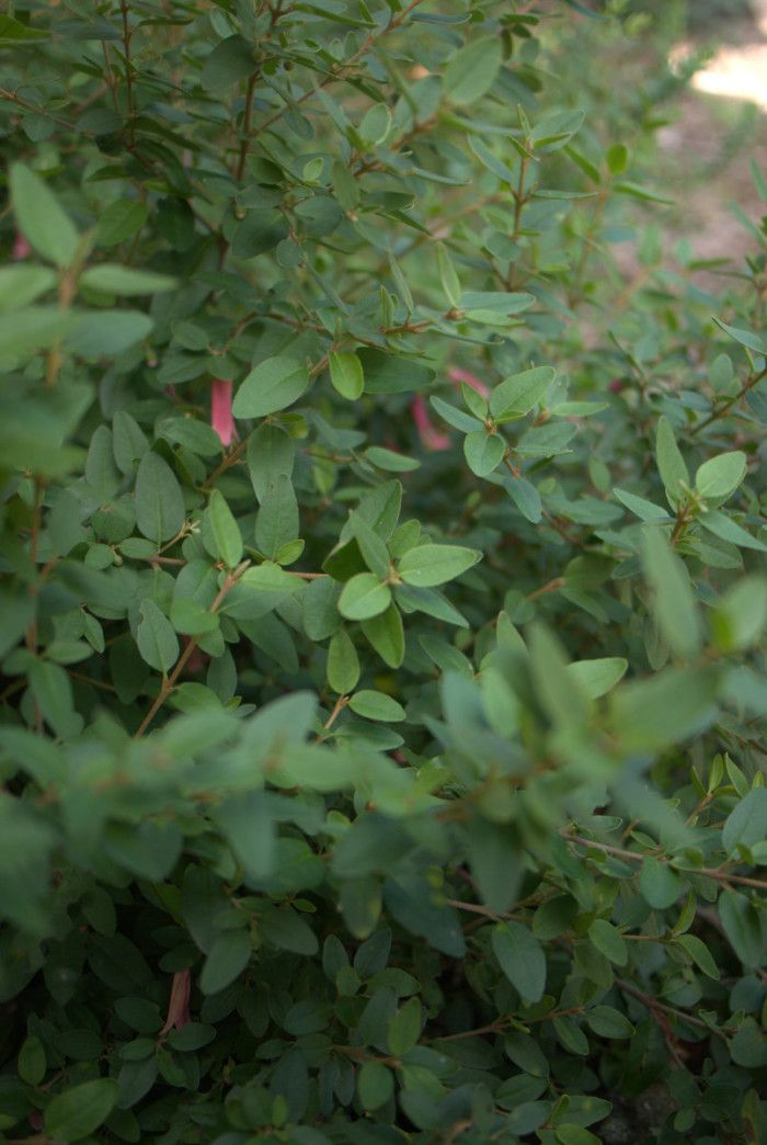 Low growing shrub back garden pinterest shrubs and for Low growing plants for landscaping