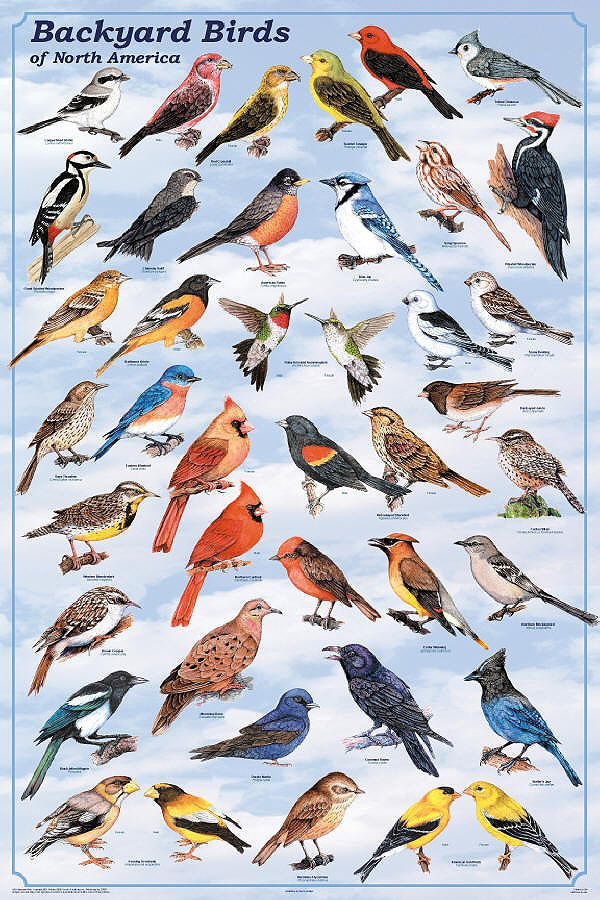 Wild Birds of North America | Backyard Birds of North America - Content Intensive Posters from ...