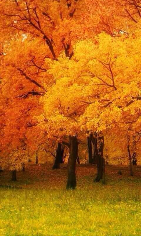 For this kind of a fall display, you make room in your yard and garden for these gorgeous trees.