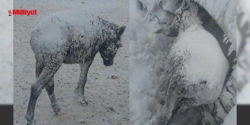 Şoke eden görüntü Şanlıurfa'dan geldi! Böyle bulundular: Siverek-#Diyarbakır yolunun 20'nci kilometresinde bulunan Güvercin kırsal Mahallesi'nde çekilen görüntülerde kar yağışı nedeniyle eşeklerin evlerin saçaklarının altına sığınmaya çalıştığı ve üstlerinin karla kaplı olduğu gözlendi. Soğuk havada yaşam mücadelesi veren eşeklerin vücutlarının tümün...