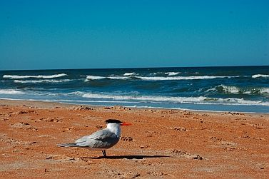 A royal tern on Daytona Beach Florida. Is he ready for Spring Break!!  More: http://roadslesstraveled.us/daytona-2/