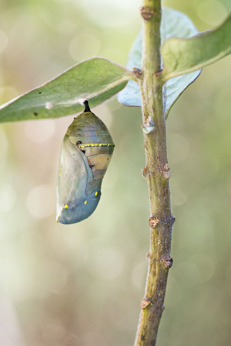 Monarch Life Cycle — 12 of 20 | The Monarch chrysalis, now ...