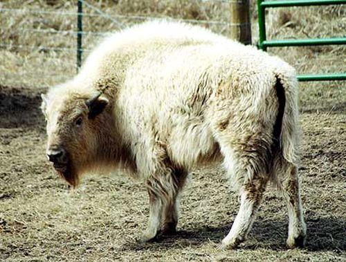 Rare White Bison ...