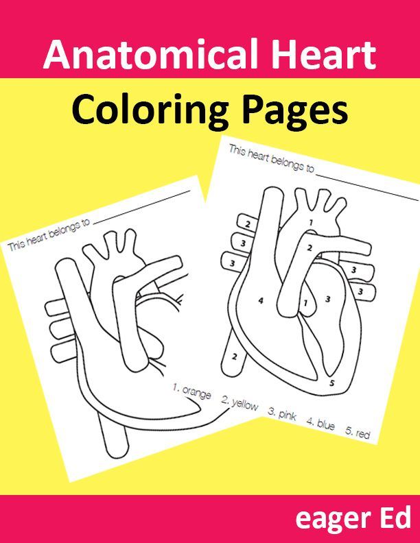 The 25 best human heart diagram ideas on pinterest for Healthy heart coloring pages