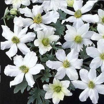 Clematide Early Sensation (sempreverde) 葉っぱ春菊。目隠しになるのか?Colore del fiore: Bianco  Grandezza del fiore: 5 centimetro  Altezza: 1.5 - 1.8 m   Periodo di fioritura: Primavera  Luogo: Sole, Mezz'ombra